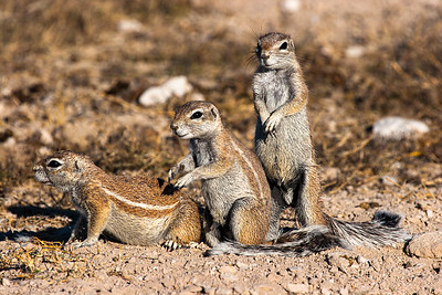 Ground squirrels looking out for danger