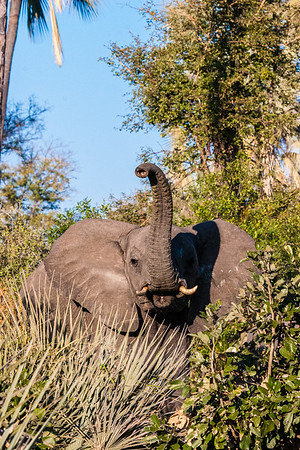 Elephant sniffing the air