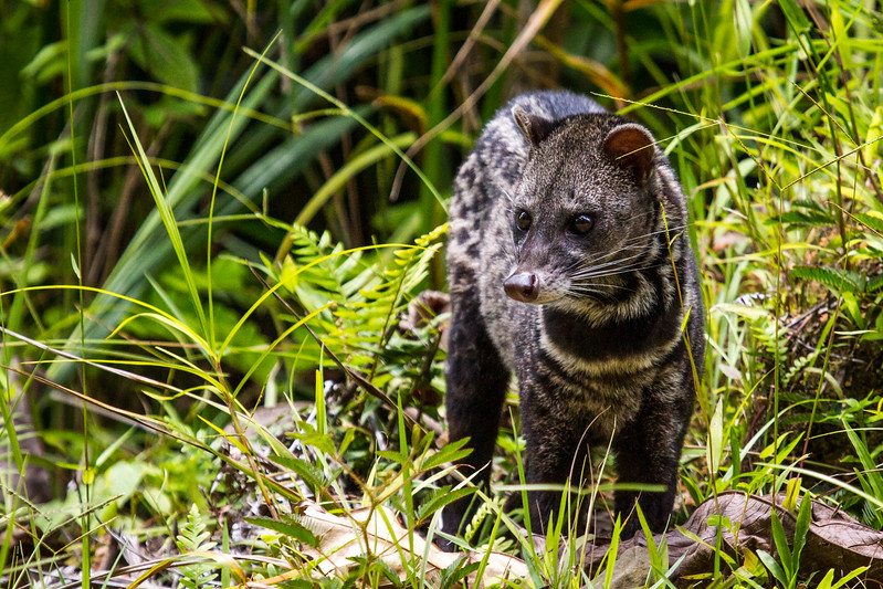 Another fab sighting! Nocturnal Malay civet out during the day at Danum Valley