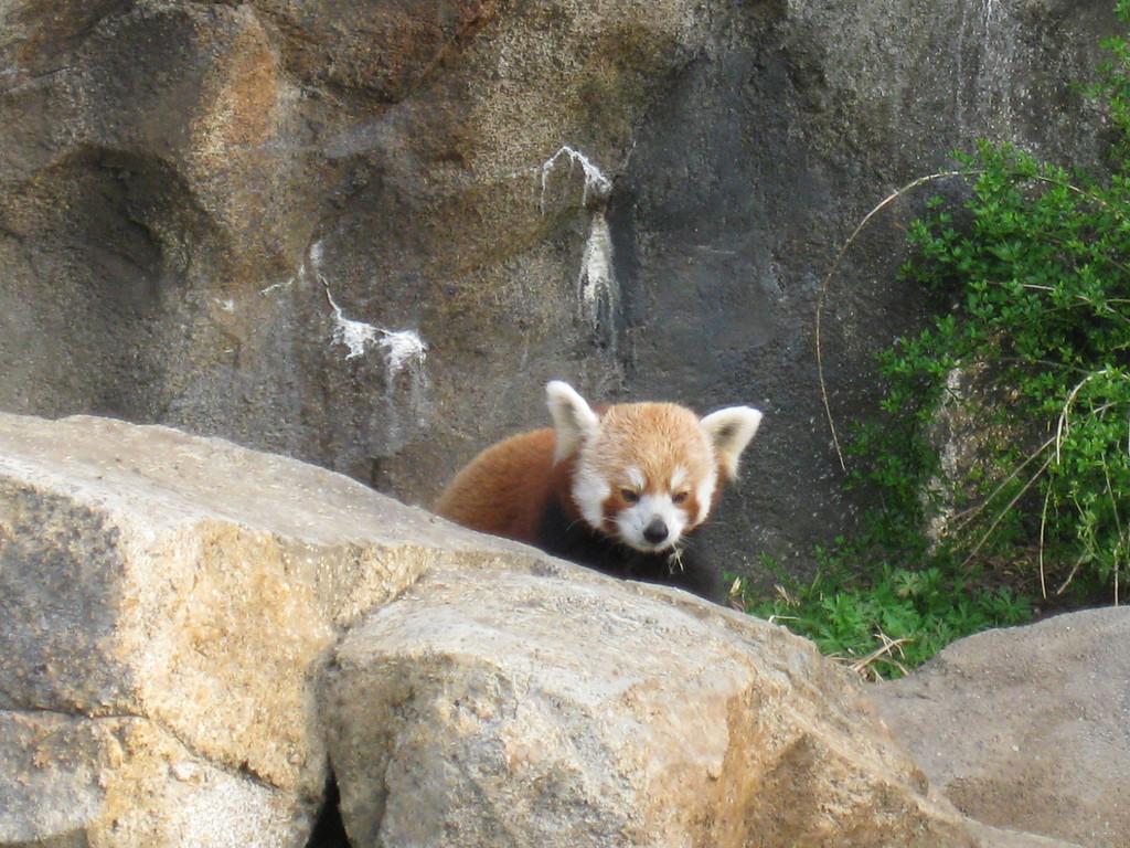 Red Panda, National Zoo - Washington DC