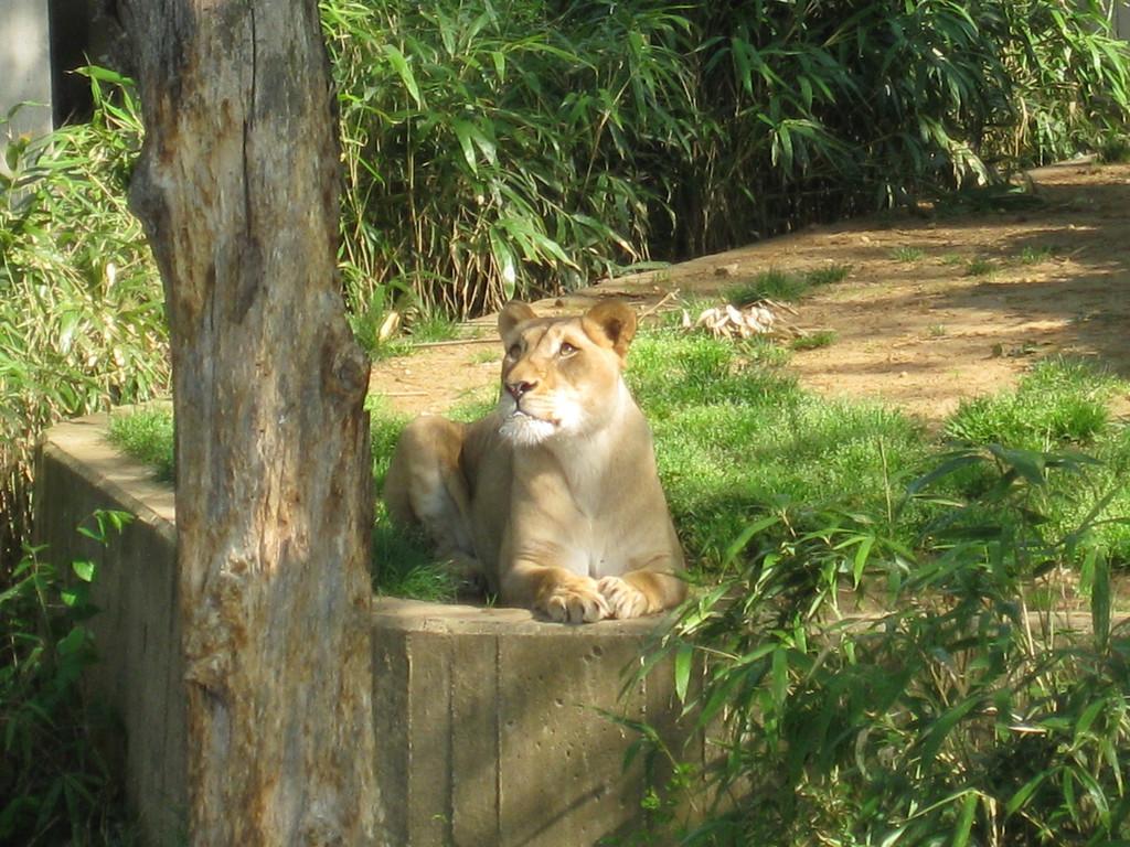 Lioness, National Zoo, Washington DC