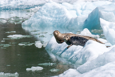 Harbor seals near the Sawyer glacier