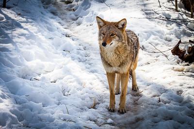 Cayote in Snow-1 Maine Wildlife Reserve