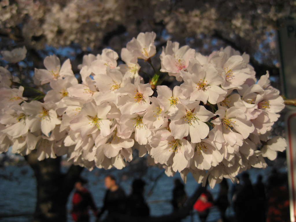 Cherry Blossoms in Bloom - Washington DC