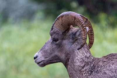 Bighorn sheep in the Rain