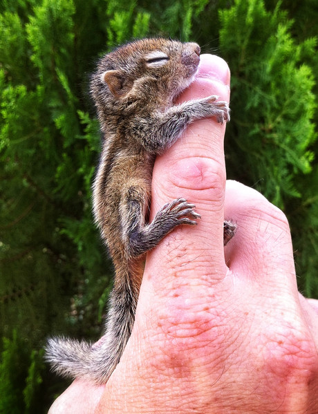 Rob the orphaned baby palm squirrel clinging to my finger - he's a lot more active today.