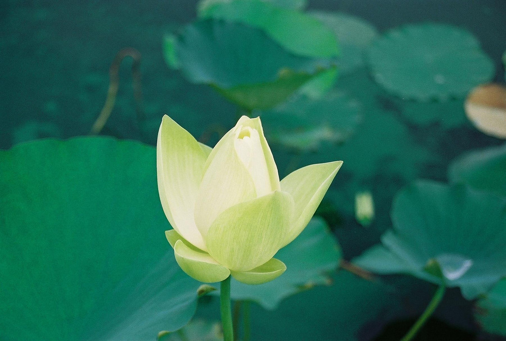 Water Lily in Bloom, Baywood Greens - Long Neck DE