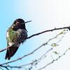 Anna's Humming Bird (male)