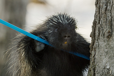 Porcupine drinking from a leaking pipe carrying maple sap water. New Hampshire, USA.