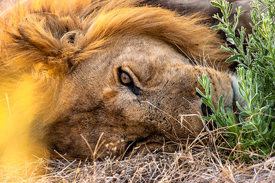 Lion doing what they do best - resting