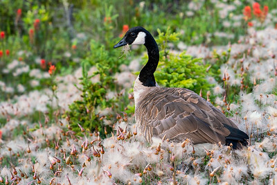 Canadian Goose enjoying the Dandelions