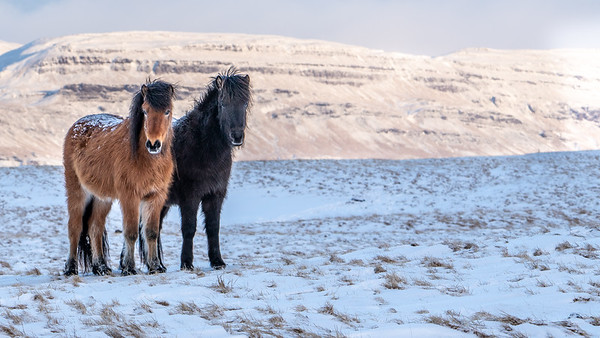 Icelandic horses near Hekla Center