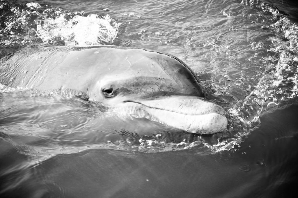 Friendly Dolphin - Hilton Head Island South Carolina
