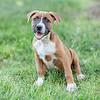 boxer-pup1c