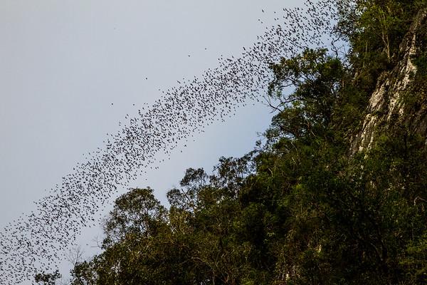 Three million wrinkle-lipped bats (Chaerephon plicata) exit Deer cave in Gunung Mulu NP, Borneo, Sarawak, Malaysia