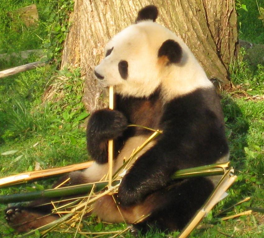 Giant Panda, National Zoo, Washington DC