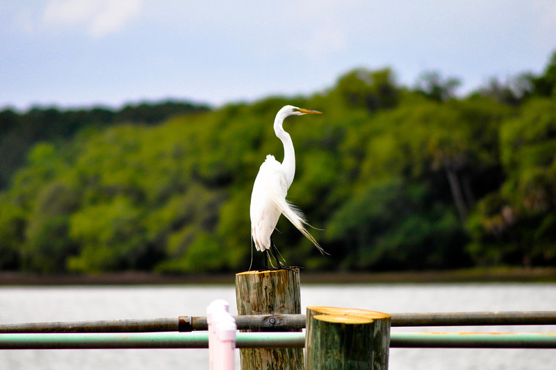 Perched Egret - Hilton Head Island South Carolina