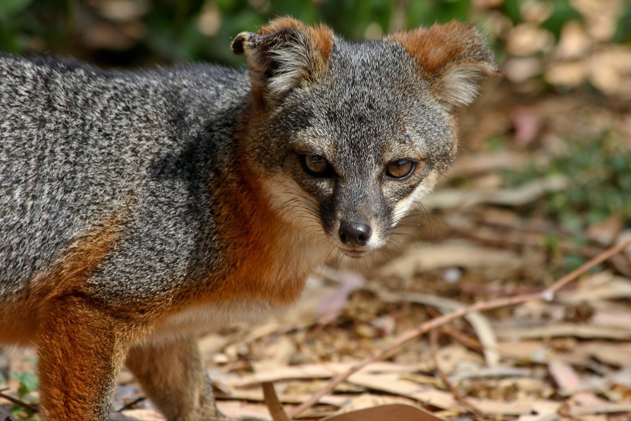 The endangered Island Fox staring me down.
