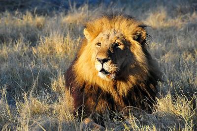 Lion King Chief's Island, Okavango Delta, Botswana, Africa