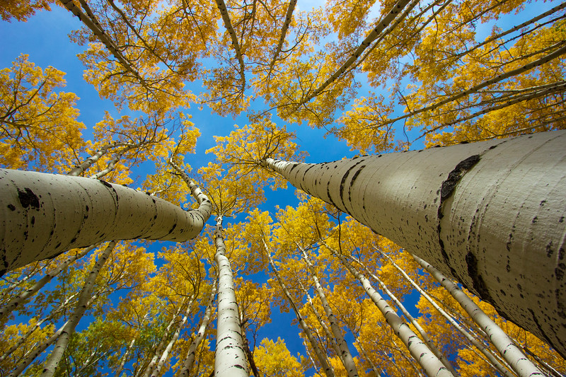 Fall Aspen Trees, Telluride Colorado