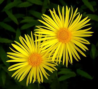 Gul blomst i hagen Linneslia, Lier 11.5.2002