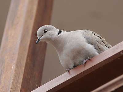 Tyrkerdue / Eurasian Collared-Dove  Tenerife, Spania 26.2.2005 Canon EOS 20D + EF 200 mm 2,8 L + Extender 1,4 x