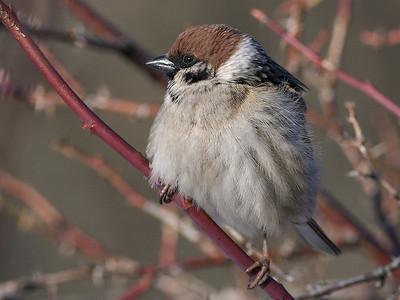 Pilfink / Eurasian Tree Sparrow  Linnesstranda, Lier 10.4.2006 Canon EOS 20D + EF 400 mm 5,6 L