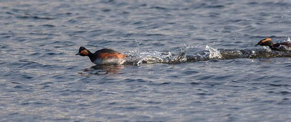 Svarthalsdykker / Eared Grebe chased by Horndykker / Horned Grebe  Hornborgasjön, Sverige 26.5.2006