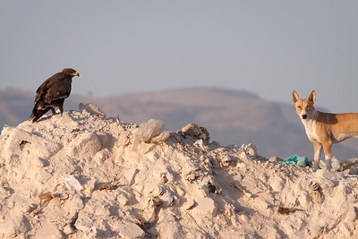 Steppeørn / Steppe Eagle  Salalah, Oman 02.12.2010 Canon EOS 50D + EF 400 mm 5.6 L