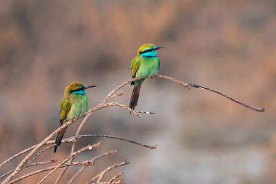Beryllbieter / Green Bee-eater  Sohar, Oman 22.11.2010 Canon EOS 50D + EF 400 mm 5.6 L