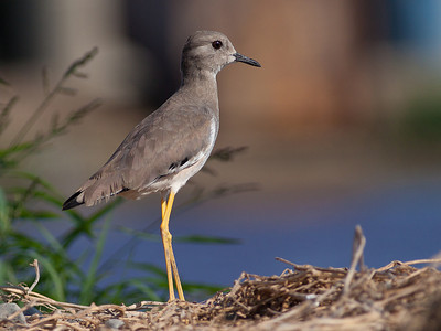 Sumpvipe / White-tailed Lapwing  Sohar, Oman 22.11.2010 Canon EOS 50D + EF 400 mm 5.6 L