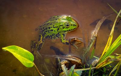 Damfrosk / Pool frog Kaunas, Litauen 20.5.2012 Samsung Galaxy SII mobiltelefonkamera