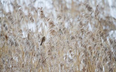 Sivspurv / Reed Bunting Linnesstranda, Lier 20.1.2013 Canon EOS 7D + EF 100 - 400 mm 4,5-5,6 L