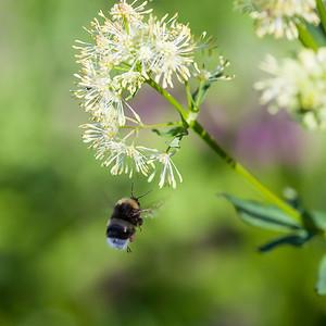 Humle / Bumble Bee Linnesstranda, Lier 9.6.2014 Canon EOS 5D Mark II + 100 mm macro