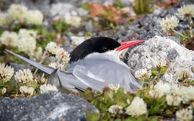 Rødnebbterne / Arctic Tern Andenes, Vesterålen 14.7.2015 Canon 7D Mark II + Tamron 150 - 600 mm 5,0 - 6,3 @ 552 mm