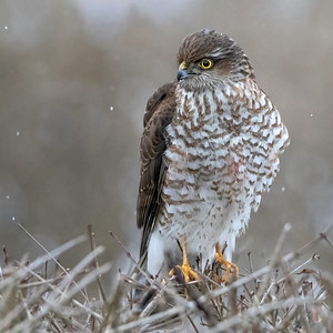 Spurvehauk / Sparrow Hawk Linnesstranda, Lier 15.2.2015 Canon 7D Mark II + Tamron 150 - 600 mm 5,0 - 6,3  @ 428 mm