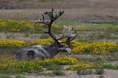 Reinsdyr / Reindeer Kanstadbotnen, Nordland 16.7.2015 Canon 7D Mark II + Tamron 150 - 600 5,0 - 6,3 @ 552 mm