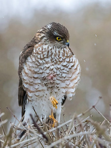 Spurvehauk / Sparrow Hawk Linnesstranda, Lier 15.2.015 Canon 7D Mark II + Tamron 150 - 600 mm 5,0 - 6,3  @ 350 mm