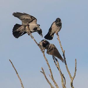 Kråke / Hooded Crow Mile gjenvinningsstasjon, Nedre Eiker 24.1.2015 Canon 7D Mark II + Tamron 150 - 600 mm @ 483 mm