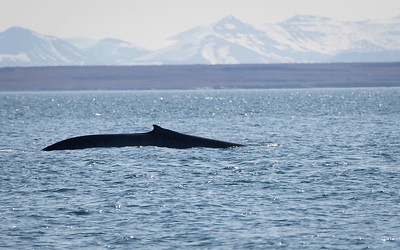 Blåhval / Blue Whale Isfjorden, Svalbard 8.7.2016 Canon 7D Mark II + Tamron 150 - 600 mm 5,0 - 6,3 @  375 mm