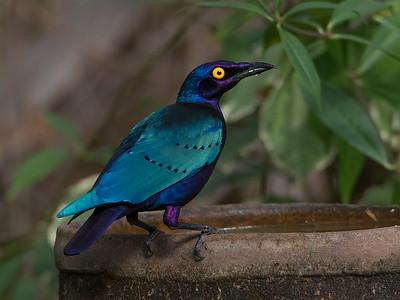 Purpurglansstær / Purple Glossy Starling Marekissa, Gambia 27.1.2016 Canon 7D Mark II + Tamron 150 - 600 mm 5,0 - 6,3