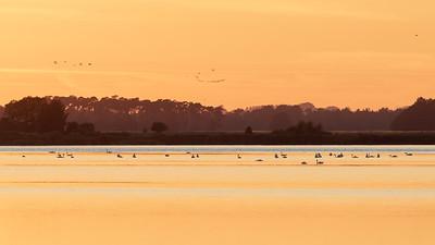 Knoppsvaner ved solnedgang / Mute Swans at sunset Krankesjön, Sverige 24.7.2018 Canon 5D Mark IV + EF 500mm f/4L IS II USM + 1.4x Ext