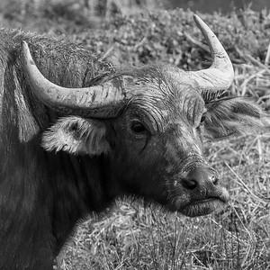 Vannbøffel / Water Buffalo Doi Lang øst, Thailand 11.2.2018 Canon 7D Mark II + Tamron 150 - 600 mm 5,0 - 6,3 G2 @ 300 mm