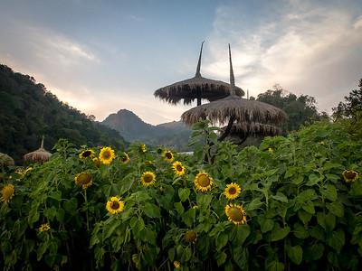 Solsikker / Sun Flowers Doi Ang Khang, Thailand 9.2.2018 Canon PowerShot G5 X