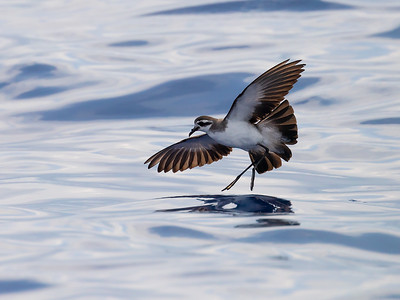 Fregattstormsvale / White-face Storm Petrel Madeira, Portugal 2.7.2018 Canon 5D Mark IV + EF 100-400mm f/4.5-5.6L IS II USM + 1.4x Ext