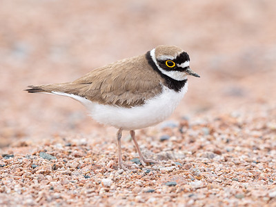 Dverglo / Little Ringed Plover Linnesstranda, Lier 8.6.2019 Canon 5D Mark IV + EF 500mm f/4L IS II USM