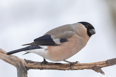 Dompap / Eurasian Bullfinch  Linnesstranda, Lier 24.2.2019 Canon 5D Mark IV +  500mm f/4L IS II USM + 1.4x Ext