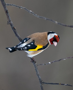 Stillits / European Goldfinch Linnesstranda, Lier 17.3.2019 Canon 5D Mark IV + EF 500mm f/4L IS II USM + 1.4x Ext