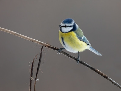 Blåmeis / Blue Tit  Linnesstranda, Lier 17.2.2019 Canon 5D Mark IV + Canon EF 500mm f/4L IS II USM + 1.4x Ext III