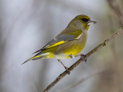 Grønnfink / European Greenfinch  Linnesstranda, Lier 17.2.2019 Canon 5D Mark IV +  500mm f/4L IS II USM + 1.4x Ext